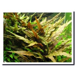 "CRYPTOCORYNE UNDULATA ""RED"""