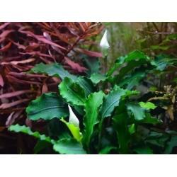 BUCEPHALANDRA WAVY GREEN...