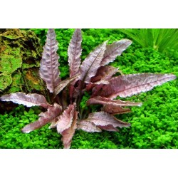 CRYPTOCORYNE SPEC. FLAMINGO