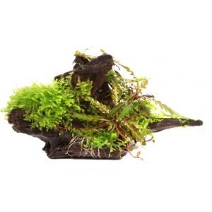Plantes pour aquarium et aquascaping - Aquascape boutique