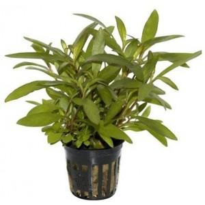 Midground - background plants