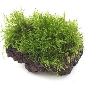 Epiphytic plants