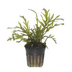 Plantes d'aquarium épiphytes, à fixer sur support - Plantes faciles
