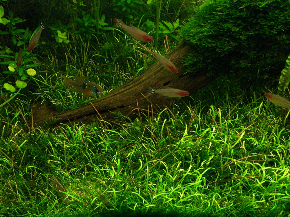 Photo plante aquarium gazonnante - Aquascape