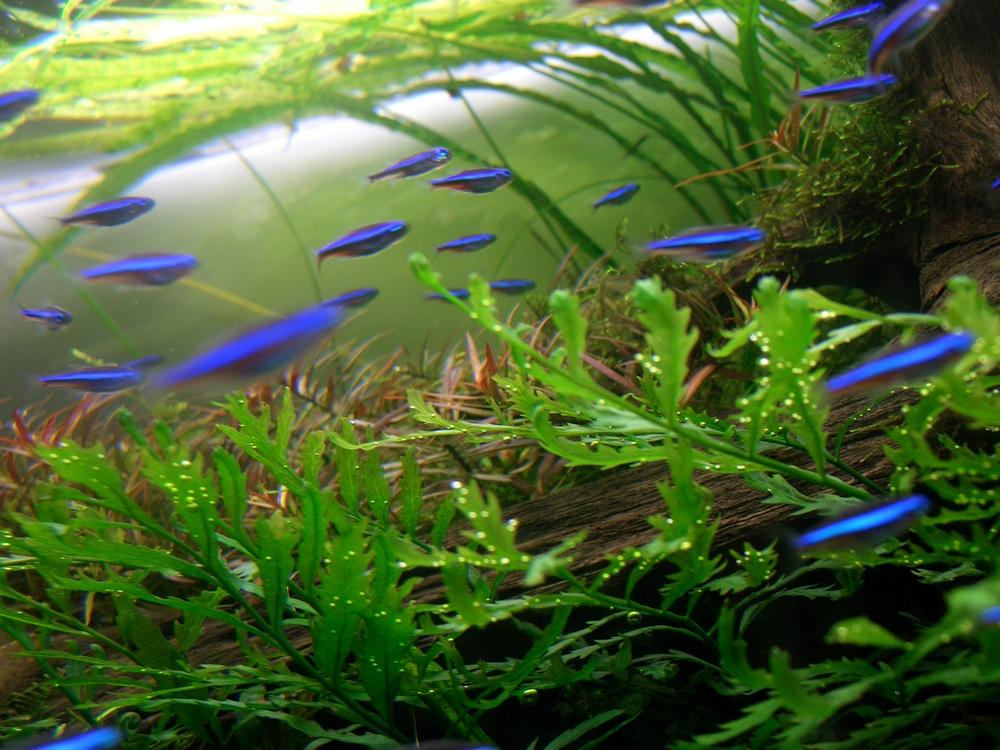 Tetra néon - Photo aquascaping
