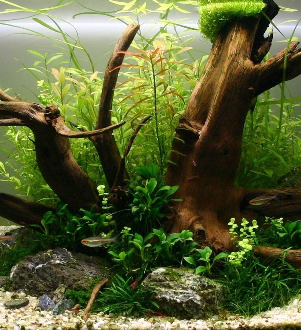 Aquascape avec plantes épiphytes + Moorkien