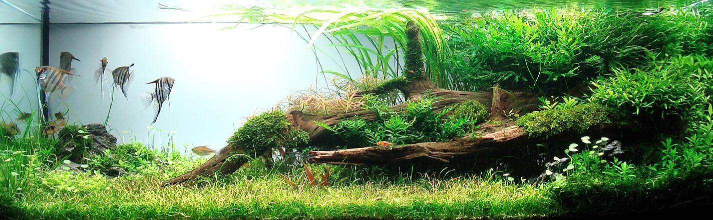 Aquascaping avec racine de mangrove